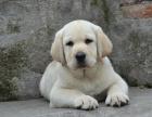 自家大狗生了一窝拉布拉多可以上门看狗父母