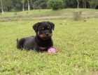 绍兴 罗威纳犬多少钱 哪里可以买到