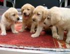 出售纯种拉布拉多导盲犬小狗,狗场直销,欢迎上门看狗