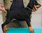 纯种**杜宾犬,看护守卫智慧气质集于一身,健康保证