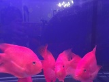 血红大鹦鹉20厘米,每条120元共6条,全包500元