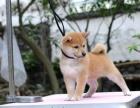 纯种的柴犬多少钱 宠物店的狗靠谱吗