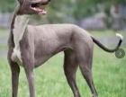 灵缇犬价格 灵缇犬多少钱 纯种灵缇犬多少钱一只