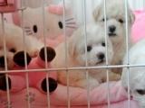 加微信15295104521家养纯种韩国血统的贵宾犬转让