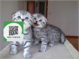 深圳哪里有宠物店 深圳哪里卖宠物猫便宜 深圳折耳猫价格