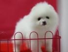 广州宠物狗出售纯种博美幼犬/袖珍犬/茶杯幼犬/英系博美