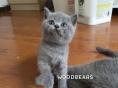 单CFA血统英短蓝猫 猫咪英国短毛猫找新家