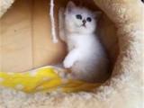 湖南长沙猫舍银渐层幼猫特价出售
