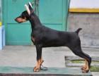 专业养殖繁育基地出售杜宾犬 品质健康有保障