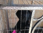 诚心出售自家拉布拉多幼犬,价格实惠。