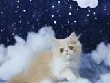 常年出售加菲猫 包纯包健康 支持全国发货