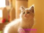 北京纯种猫繁育基地直销 布偶 英短 蓝猫 健康保障
