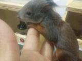 魔王黄山红腹雪地松鼠,龙猫刺猬宠物貂幼崽出售