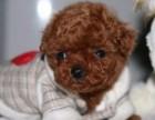 北京犬舍出售泰迪纯种活体幼犬红棕色迷你茶杯体泰迪贵宾犬长不大