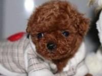 北京犬舍出售泰迪純種活體幼犬紅棕色迷你茶杯體泰迪貴賓犬長不大