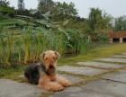 广州哪里有万能梗犬 多少钱一只 图片