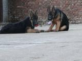 德国牧羊犬一只钱 里可以买到德国牧羊犬