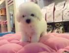 比熊幼犬好不好养 广州什么地方有出售纯种比熊幼犬呢