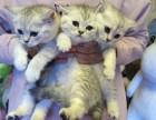 广州什么地方有猫舍/广州哪里有卖蓝猫