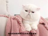 純種加菲貓DDMM找新家保健康可上門挑選