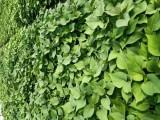 优质脱毒红薯苗种植基地