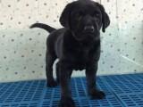 重庆出售 拉布拉多犬,疫苗驱虫已做视频