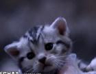 (美短)标准银虎斑美国短毛猫 大斑圈花纹清晰