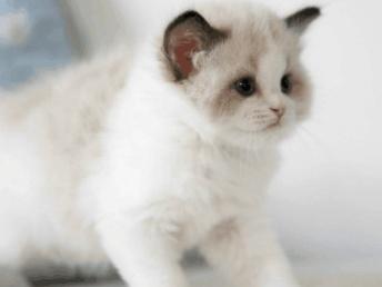 天津福州佛山珠海布偶折耳波斯短毛猫一只多少钱 双飞猫