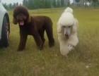 海口贵宾多少钱 海口巨型贵宾犬价格 红色巨贵多少钱