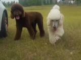 佛山市巨型贵宾犬怎么卖的 佛山市白色巨贵照片 灰色巨贵多少钱
