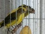 人工繁殖鸟,天生的歌唱家