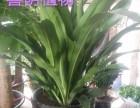 广州经济开发区哪有卖福禄寿大叶绿萝适合放办公室的植物全城送货