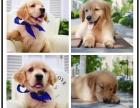 血统纯正金毛犬导盲犬大头宽嘴金毛高品质健康保障