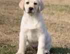 赛级拉布拉多犬,保健康保纯种,合同三包,支持送货