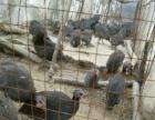 本养殖户即将转行,急须出售珍珠鸡