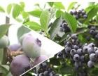 """闻香识蓝莓""""蓝莓采摘节""""蓝溪谷盛大开园"""