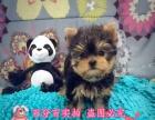 金头银背小体型的约克夏幼犬长大啦,很乖巧又可爱