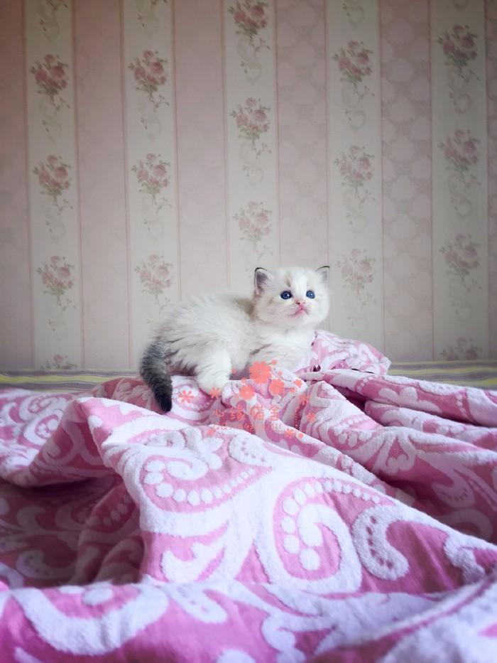 太原哪里的布偶猫比较便宜健康 太原什么地方可以买到布偶猫