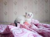 潮州哪里卖布偶猫 布偶猫价格 布偶猫哪里有卖