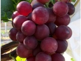 葡萄苗紧急发货 优良葡萄苗出售