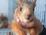 魔王松鼠,迷你刺猬,雪地松鼠,飞鼠,蜜袋鼯