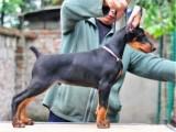 深圳应该去哪里买狗好 深圳哪里有卖杜宾犬