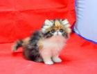 精品波斯猫 品相好 猫舍专业繁殖 品质优
