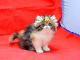 長毛波斯幼貓寶寶 多只出售 多窩可選公母都有