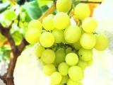 遵义有机农业食品 厂家直销 超逸葡萄 茉莉香穗重克