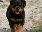 长沙纯种罗威纳价格 长沙哪里能买到纯种罗威纳犬