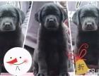 导盲犬拉布拉多犬 黑色奶白色咖啡色均有 健康有保