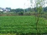 空心菜批发销售 水上空心菜 空心菜 绿色蔬菜 种植基地大量供应