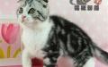 美国短毛猫美短虎斑加白折耳幼猫宠物猫短毛猫