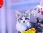 【美短】加白CFA血统宝宝【种猫对外借配】